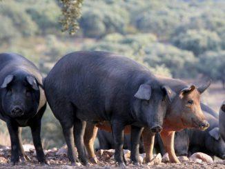 Cerdos 2